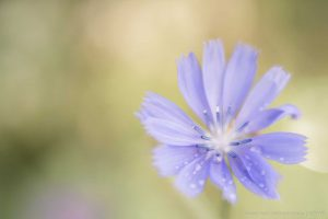 Lensbaby Velvet 56 f/1.6 review and sample photos with soft focus and blur