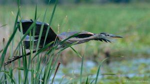 Hidden heron captured by camera